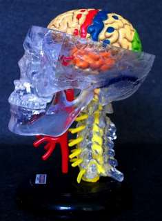 CLEAR MINIATURE SKULL CRANIAL NERVE MEDICAL STUDY MODEL ANATOMY