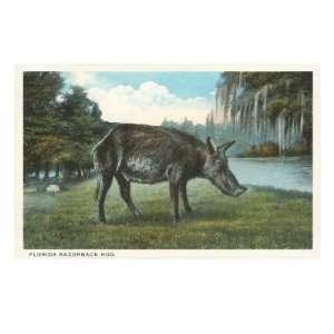 Razorback Hog, Florida Premium Giclee Poster Print, 18x24