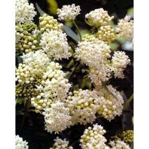 Ice Ballet Butterfly Weed   Asclepias   NEW   Potted