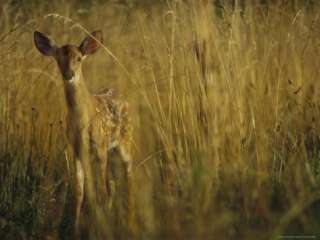 White Tailed Deer Fawn Stands in a Field in Sewanee, Tennessee