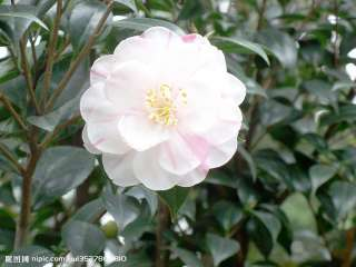 camellia flower/camellia japonica~~~~~30 nice seeds