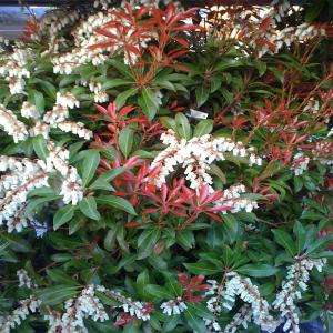 OnlinePlantCenter Mountain Fire Andromeda Shrub P107515 at The Home