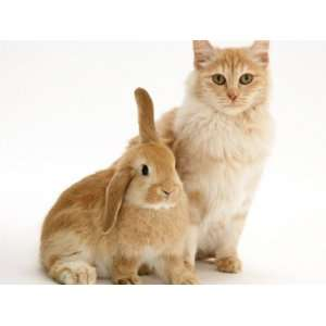 Red Silver Turkish Angora Cat with Sandy Lop Rabbit